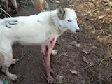 Собаки, щенята Східно-сибірська лайка, ціна 300 Грн., Фото