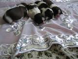 Собаки, щенята Ши-тцу, ціна 5000 Грн., Фото