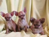 Собаки, щенята Чихуа-хуа, ціна 9000 Грн., Фото