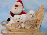 Собаки, щенята Мальтійська болонка, ціна 12000 Грн., Фото