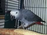 Папуги й птахи Папуги, ціна 2300 Грн., Фото