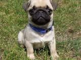 Собаки, щенята Мопс, ціна 2300 Грн., Фото