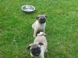 Собаки, щенки Мопс, цена 2300 Грн., Фото