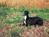 Собаки, щенки Грейхаунд, цена 9000 Грн., Фото