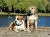 Собаки, щенки Американский стаффордширский терьер, цена 4100 Грн., Фото