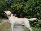 Собаки, щенята Лабрадор ретрівер, ціна 10000 Грн., Фото