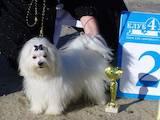 Собаки, щенки Мальтийская болонка, цена 8500 Грн., Фото