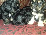 Собаки, щенки Американский коккер, цена 2701 Грн., Фото