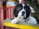 Собаки, щенки Кавказская овчарка, цена 2900 Грн., Фото