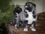 Собаки, щенята Кавказька вівчарка, ціна 2900 Грн., Фото
