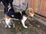 Собаки, щенята Естонський гончак, ціна 1550 Грн., Фото