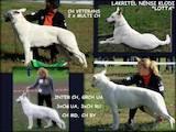 Собаки, щенята Біла Швейцарська вівчарка, ціна 13500 Грн., Фото