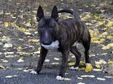 Собаки, щенята Мініатюрний бультер'єр, ціна 19000 Грн., Фото