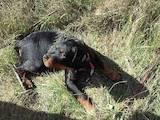 Собаки, щенки Ротвейлер, цена 10 Грн., Фото