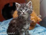 Кішки, кошенята Мейн-кун, ціна 5500 Грн., Фото