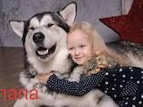 Собаки, щенята Аляска маламут, ціна 3000 Грн., Фото