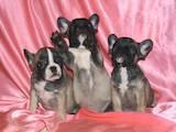 Собаки, щенята Французький бульдог, ціна 11000 Грн., Фото