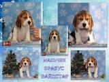 Собаки, щенята Бігль, ціна 14000 Грн., Фото