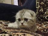Кішки, кошенята Шотландська висловуха, ціна 4300 Грн., Фото