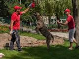 Собаки, щенки Кане Корсо, цена 2000 Грн., Фото