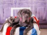 Собаки, щенята Мастіно неаполетано, ціна 35000 Грн., Фото