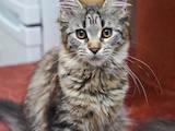Кошки, котята Мэйн-кун, цена 3700 Грн., Фото
