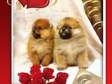 Собаки, щенки Померанский шпиц, цена 11000 Грн., Фото