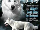 Собаки, щенята Сибірський хаськи, ціна 10000 Грн., Фото