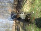 Собаки, щенята Американський стаффордширський тер'єр, ціна 3600 Грн., Фото