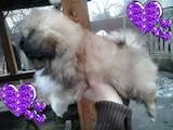 Собаки, щенята Пекінес, ціна 1300 Грн., Фото