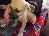 Собаки, щенки Американский стаффордширский терьер, цена 200 Грн., Фото