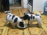 Собаки, щенята Російсько-Європейська лайка, ціна 8000 Грн., Фото