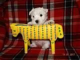 Собаки, щенки Вестхайленд уайт терьер, цена 22400 Грн., Фото