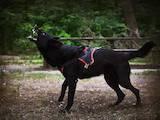 Собаки, щенки Восточно-Европейская овчарка, цена 9000 Грн., Фото