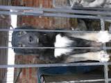 Собаки, щенки Кавказская овчарка, цена 3500 Грн., Фото