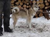 Собаки, щенки Западно-Сибирская лайка, цена 2600 Грн., Фото