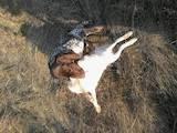 Собаки, щенки Немецкая гладкошерстная легавая, цена 8000 Грн., Фото