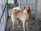Собаки, щенята Російсько-Європейська лайка, ціна 5 Грн., Фото