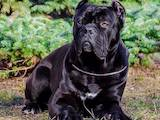 Собаки, щенята Кане Корсо, ціна 14000 Грн., Фото