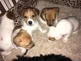Собаки, щенята Джек Рассел тер'єр, ціна 3500 Грн., Фото