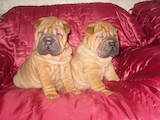 Собаки, щенята Мопс, ціна 11 Грн., Фото