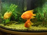 Рибки, акваріуми Акваріуми і устаткування, ціна 6500 Грн., Фото