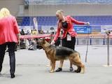 Собаки, щенята Німецька вівчарка, ціна 11000 Грн., Фото