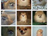 Собаки, щенки Померанский шпиц, цена 40000 Грн., Фото