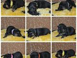 Собаки, щенята Німецька вівчарка, ціна 12000 Грн., Фото