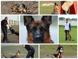 Собаки, щенки Немецкая овчарка, цена 12000 Грн., Фото