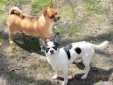 Собаки, щенята Чихуа-хуа, ціна 1000 Грн., Фото
