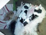 Собаки, щенята Жорсткошерстий фокстер'єр, ціна 1200 Грн., Фото