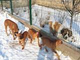 Собаки, щенята Боксер, ціна 5000 Грн., Фото