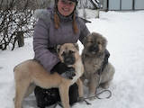 Собаки, щенки Кавказская овчарка, цена 2500 Грн., Фото